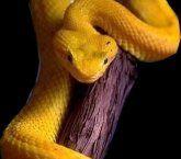Cobra amarela