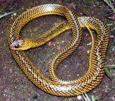 Cobra picando ou cobra morta