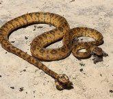 Cobra Sucuri ou Jiboia